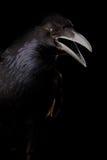 Czarna wrona w czerni Fotografia Royalty Free