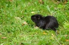 Czarna wydra fotografia stock