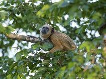 Czarna wyjec małpa (Alouatta caraya) Obrazy Royalty Free