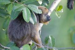 Czarna wyjec małpa (Alouatta caraya) Zdjęcia Stock