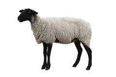 czarne ścieżka owce zdjęcia royalty free