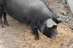 Czarne świnie na europejczyka gospodarstwie rolnym obrazy stock