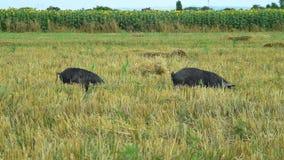 Czarne świnie pasa w śródpolnym mangulica omijaniu przez strzału 02 zbiory