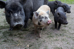 Czarne świniowate chlewnie i dwa prosiaczka stać na czele patrzeć Zdjęcia Royalty Free