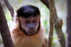 Czarne capuchin małpy w Południowa Afryka Obraz Stock