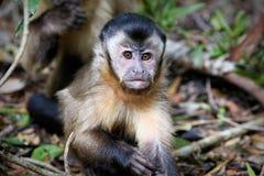 Czarne capuchin małpy w Południowa Afryka Zdjęcie Royalty Free