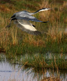 czarne heron głowiasta Fotografia Royalty Free