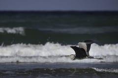 czarne heron głowiasta Zdjęcia Royalty Free
