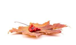 Czarne i czerwone jagody halny popiół Fotografia Royalty Free