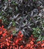 czarne jagody Zdjęcie Royalty Free