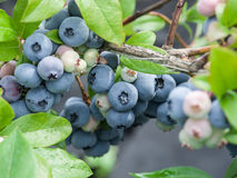 czarne jagody dojrzałe fotografia stock