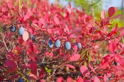 czarne jagody dojrzałe Fotografia Royalty Free