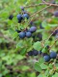 czarne jagody dzikie Obrazy Royalty Free