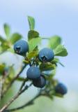 czarne jagody dzikie Fotografia Stock