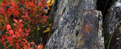 Czarne jagody i skały natura przy Tromso Norwegia obraz stock