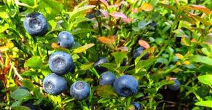 Czarne jagody na Bush Obrazy Royalty Free