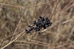 Czarne jagody na gałąź krzaki w lesie obraz royalty free