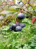 Czarne jagody na gałąź zdjęcia royalty free