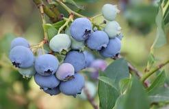 Czarne jagody na gałąź Fotografia Stock