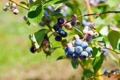 Czarne jagody na gałęziastym zbliżeniu fotografia royalty free