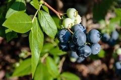 Czarne jagody na krzaku Obraz Stock