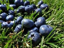 Czarne jagody na zielonej trawie Zdjęcie Stock