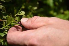 Czarne jagody podnosi w górach obraz stock