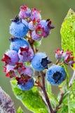 czarne jagody W łące Obraz Royalty Free