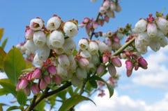 Czarne jagody w różowej scenie zdjęcie stock