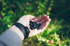 Czarne jagody w ręce Czarne jagody znajdować w lesie Zdjęcia Royalty Free