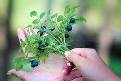 Czarne jagody w rękach Zdjęcia Royalty Free