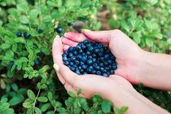 Czarne jagody w rękach Obraz Stock