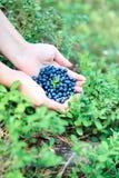 Czarne jagody w rękach Fotografia Stock
