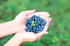 Czarne jagody w rękach Zdjęcie Royalty Free