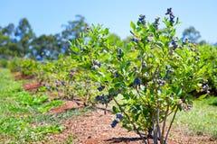 Czarne jagody zasadzać w rzędzie obraz royalty free