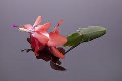 czarne kaktusowi Świąt śliwek kwiat odosobnioną drogę Zdjęcia Royalty Free