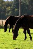 czarne konie Obrazy Stock