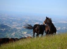 czarne konie Obrazy Royalty Free