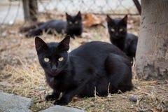 czarne koty Zdjęcia Royalty Free