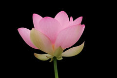 czarne lotos różowy Zdjęcia Stock