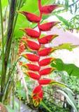 Czarne mrówki na Heliconia kwiatu Heliconia tropikalnym rostrata obraz stock