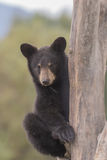 czarne niedźwiedzie młode drzewko północnej Minnesota Fotografia Royalty Free