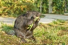 Czarne nutrie, bobroszczur lub bagno bobra lat, Myocastor coypus, ssak ślepuszonka jedzą zielonych liście zdjęcie stock