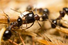 Czarne pracownik mrówki Obrazy Royalty Free