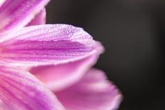 czarne różowy zdjęcie stock