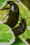 czarne robaki Obraz Stock
