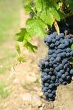 czarne szczegółów winogron Fotografia Royalty Free