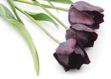 czarne tulipany Obraz Stock