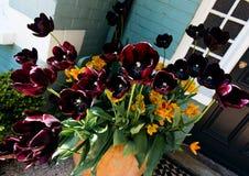 czarne tulipany Fotografia Royalty Free