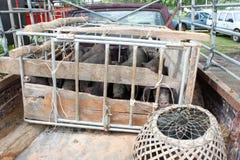 czarne świnie Zdjęcia Stock